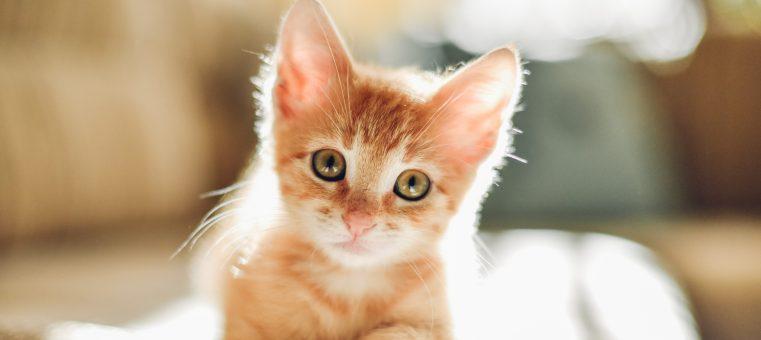 今日、2月22日は「ニャーニャーニャー」の語呂合わせから「ネコの日」ですが、ネコについて次のうち正しいのはどれ?
